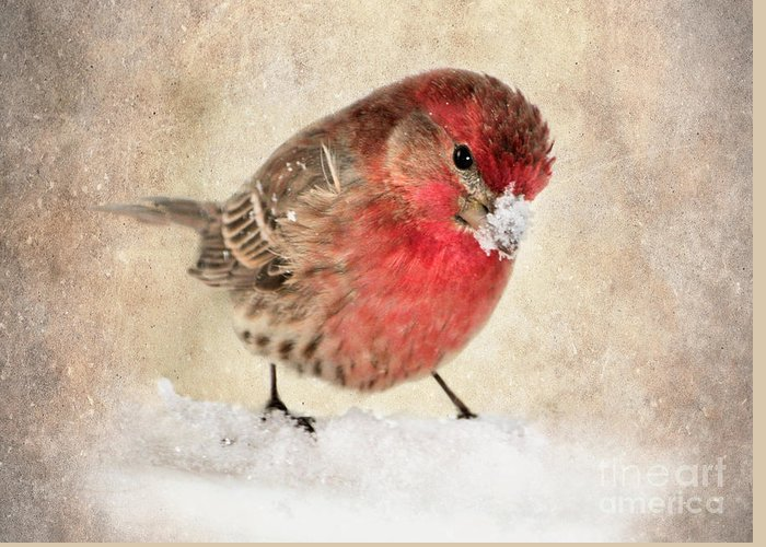 House Finch Greeting Card featuring the photograph Christmas Card 9 by Betty LaRue