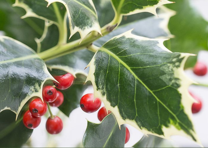 Christmas Holly Greeting Card featuring the photograph Christmas Holly Greeting Card by Mariola Szeliga