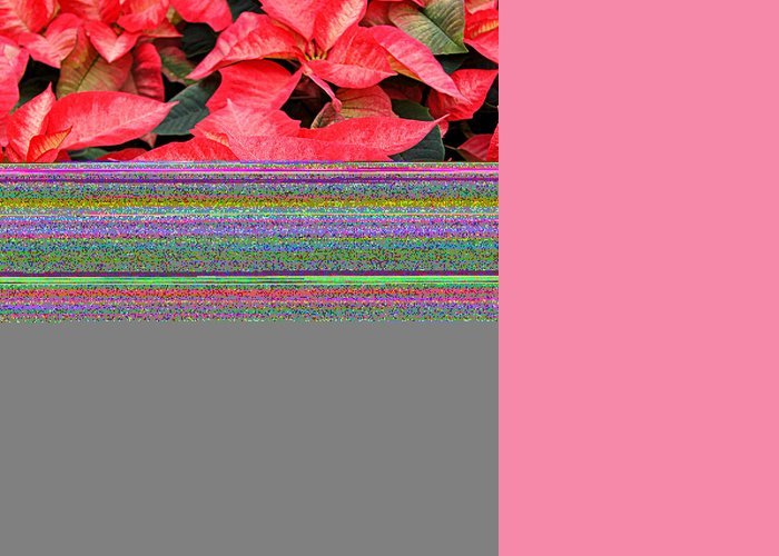 Flowers Greeting Card featuring the photograph Christmas Poinsettia's by Carol Toepke