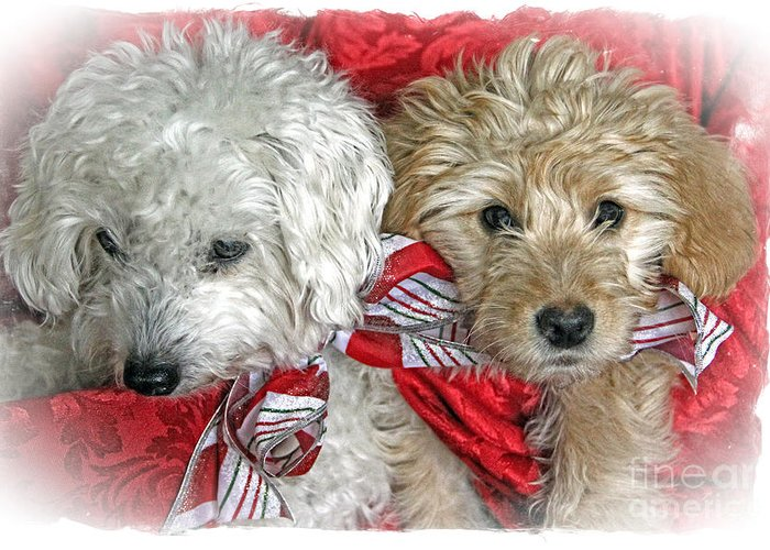 Christmas Greeting Card featuring the photograph Christmas Puppy by Bob Hislop