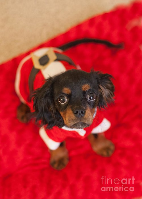 Christmas Greeting Card featuring the photograph Christmas Puppy by Kay Pickens
