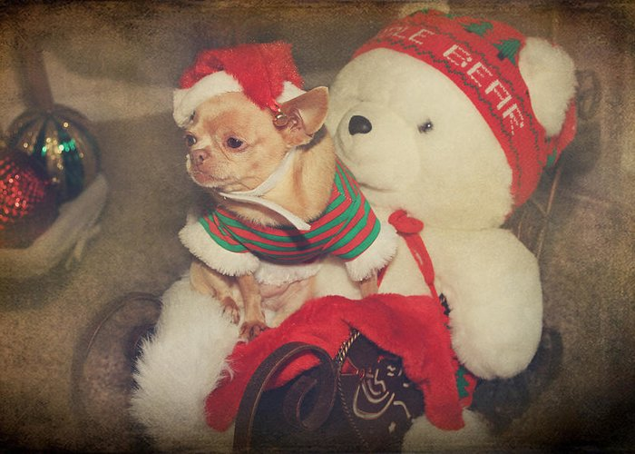 Dog Greeting Card featuring the photograph Christmas Zoe by Laurie Search