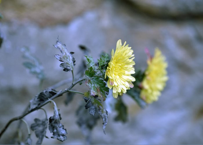 Abstract Greeting Card featuring the photograph Chrysanthemum losing hope by Adrian Bud