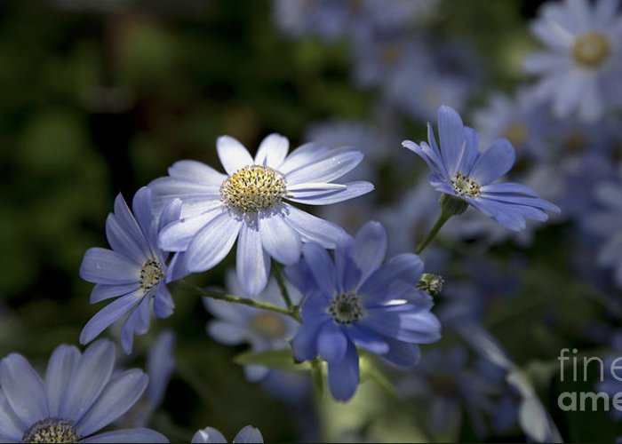 Blue Daisy Blue Flower Greeting Card featuring the photograph Cineraria 1217 by Terri Winkler