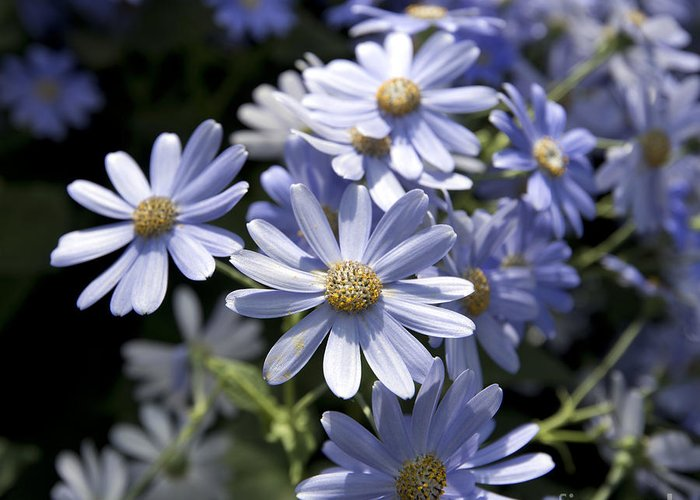 Blue Daisy Greeting Card featuring the photograph Cineraria 1225 by Terri Winkler
