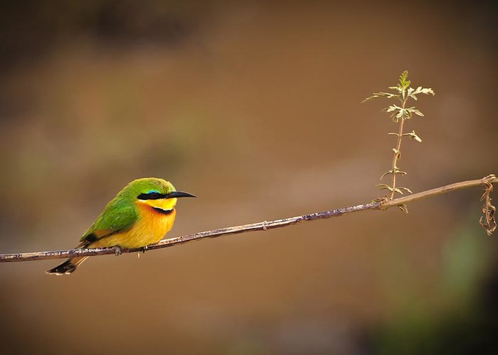 3scape Photos Greeting Card featuring the photograph Cinnamon-chested Bee-eater by Adam Romanowicz