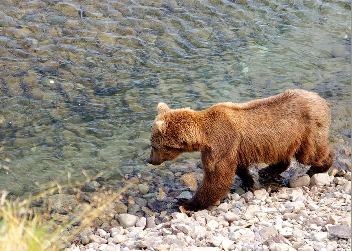 Cinnamon-colored Grizzly Bear In Moraine River Greeting Card featuring the photograph Cinnamon-colored Grizzly Bear By Moraine River In Katmai Np-ak by Ruth Hager