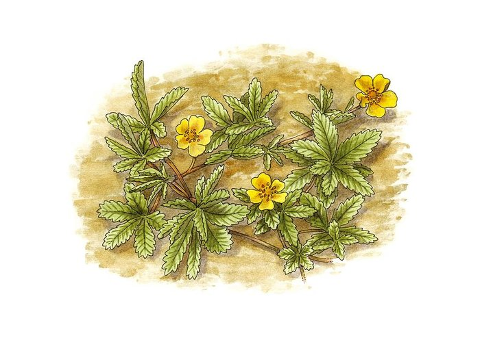 Cutout Greeting Card featuring the photograph Cinquefoil (potentilla Reptans), Artwork by Science Photo Library