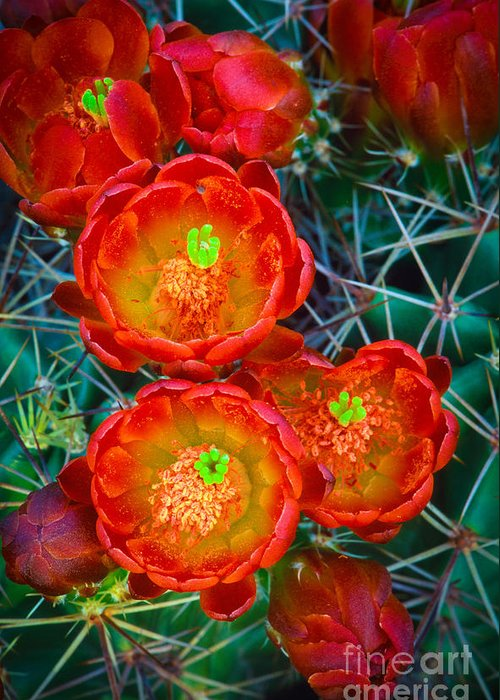America Greeting Card featuring the photograph Claret Cup by Inge Johnsson
