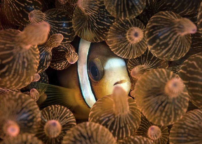 Amphiprion Clarkii Greeting Cards