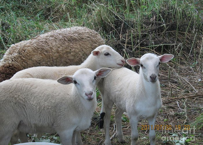 Sheep Greeting Card featuring the photograph Clean Shaven by Tina M Wenger