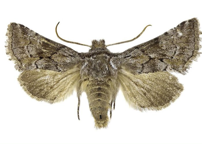 Entomology Greeting Card featuring the photograph Cleonymia Yvanii Moth by Science Photo Library