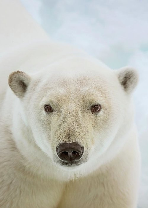 close up of a polar bears head greeting card for sale by peter j