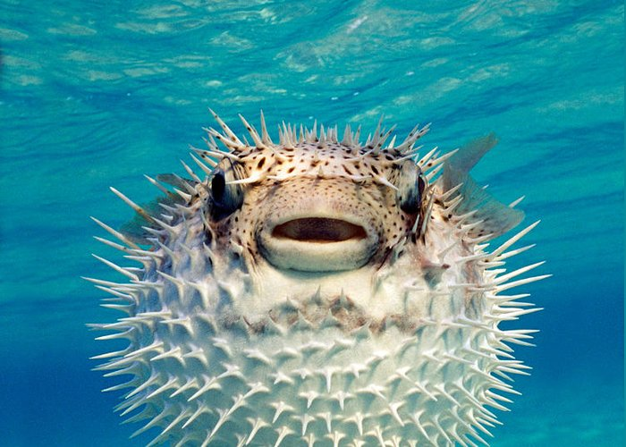 Puffer Photographs Greeting Cards