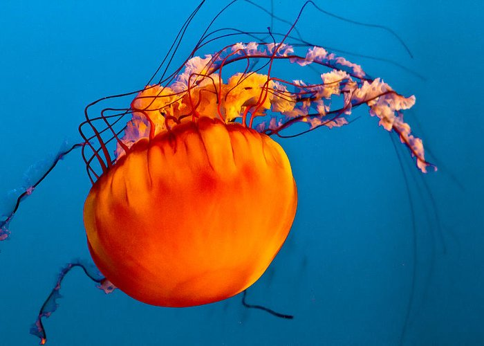 Jelly Fish Greeting Card featuring the photograph Close Up Of A Sea Nettle Jellyfis by Eti Reid