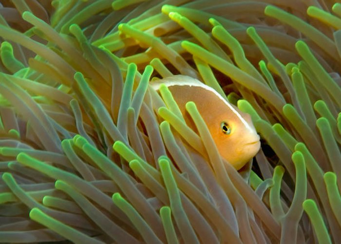 Anemonefish Greeting Cards