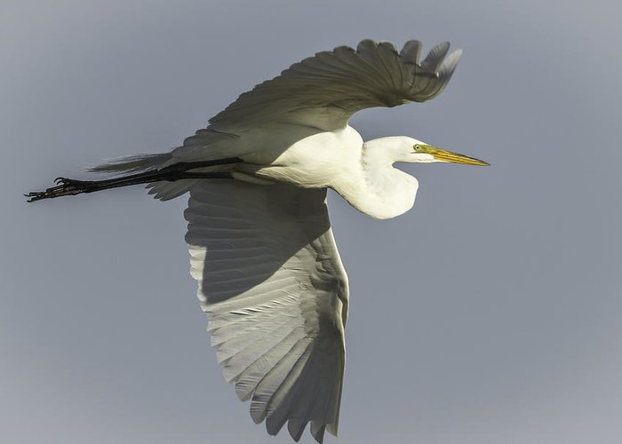 Great Egret Greeting Card featuring the photograph Close Up Of Great Egret In Flight by Thomas Young