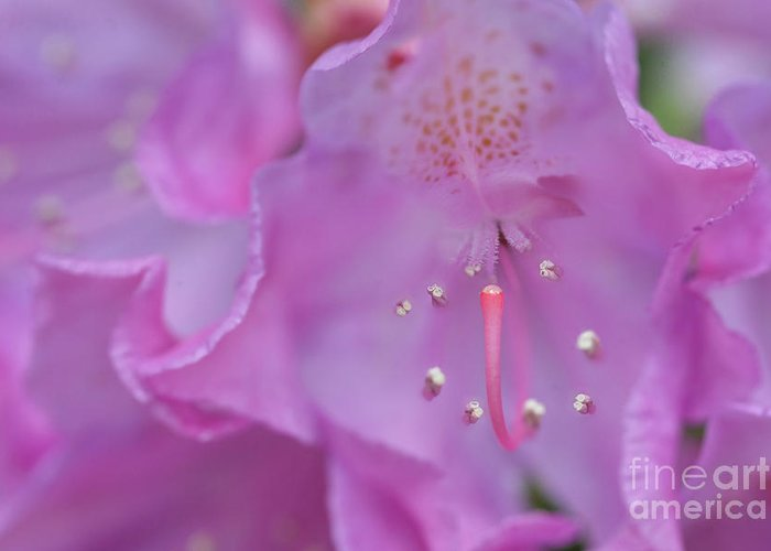 Rhododendron Flower Greeting Card featuring the photograph Close Up Of Inside Of Rhododendron Flower by Dan Friend