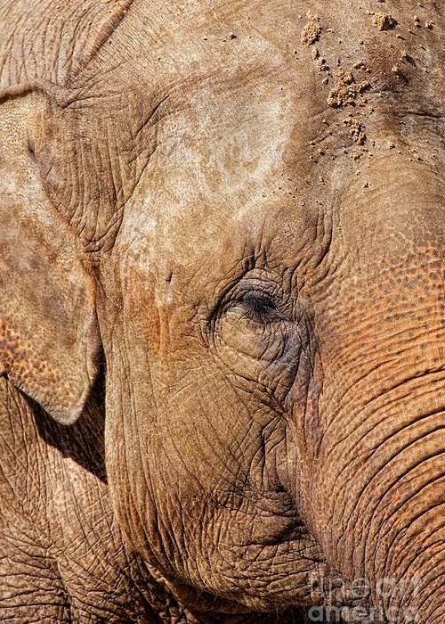 Africa Greeting Card featuring the photograph Closeup Of An Elephant by Nick Biemans