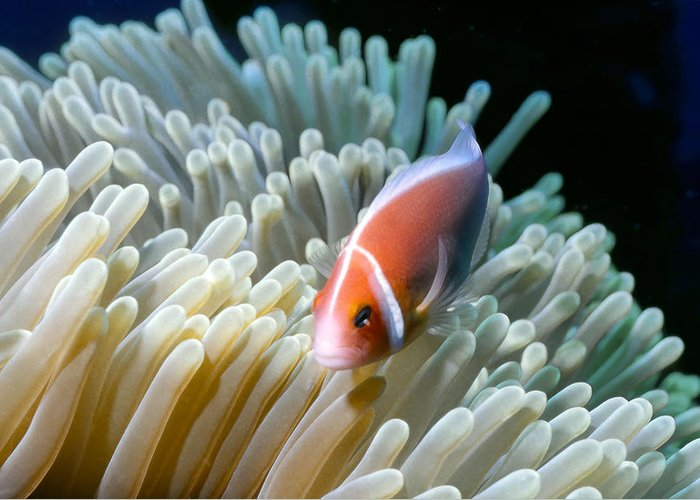 Micronesia Greeting Card featuring the photograph Clownfish 9 by Dawn Eshelman