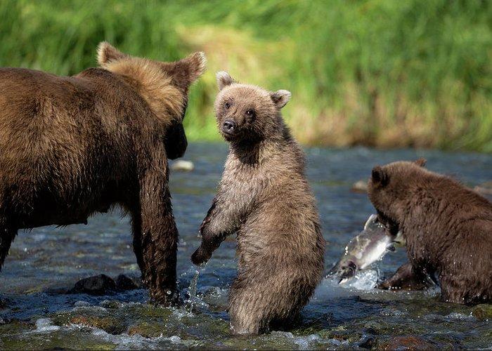 Katmai Peninsula Greeting Card featuring the photograph Coastal Brown Bear Family by Justinreznick