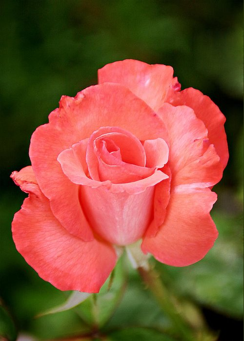 One Greeting Card featuring the photograph Cobra Rose by Christine Till