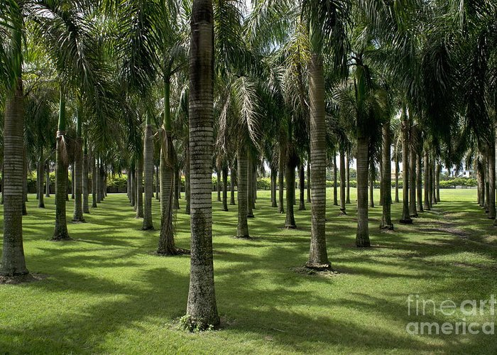 Abundance Greeting Card featuring the photograph Coconuts Trees In A Row by Sami Sarkis
