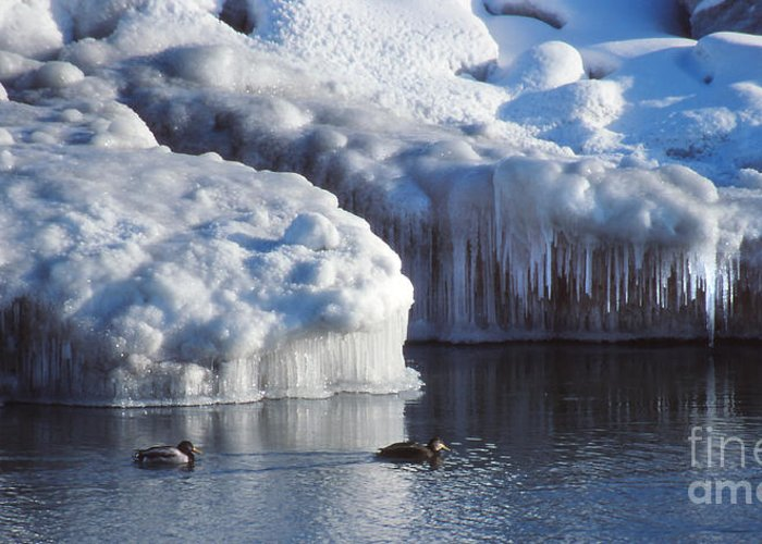 Nature Greeting Card featuring the photograph Cold Ducks by Eva Kato
