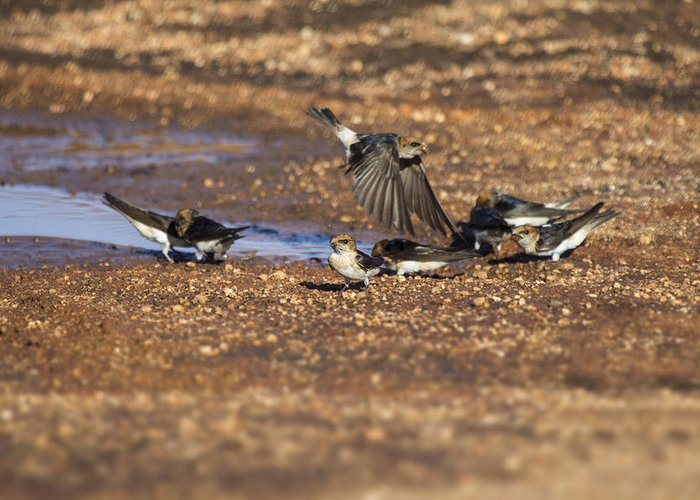 Swallows Greeting Card featuring the photograph Collecting Mud by Douglas Barnard