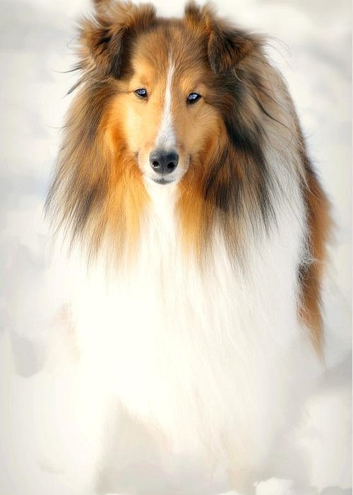 Dog Greeting Card featuring the photograph Collie by Diana Angstadt