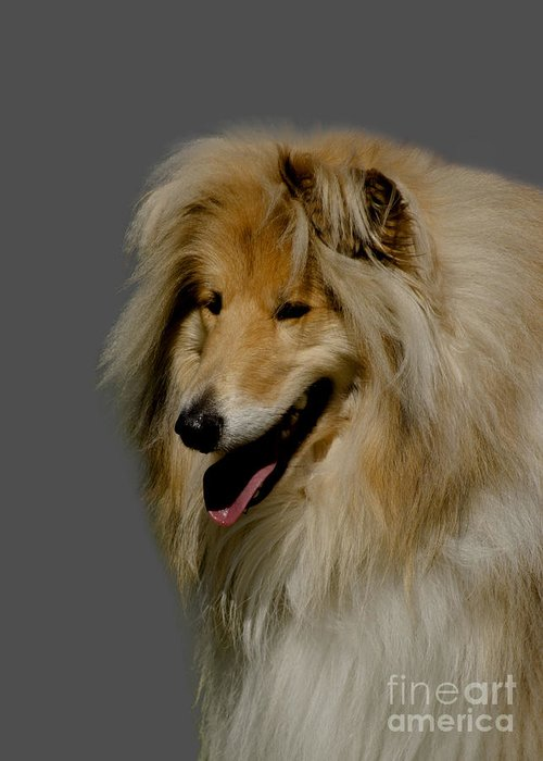 Grey Background Greeting Card featuring the photograph Collie Dog by Linsey Williams