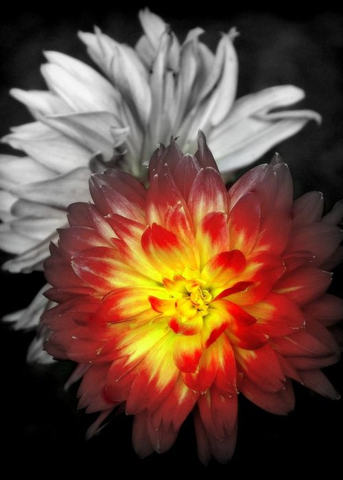 Dahlias Greeting Card featuring the photograph Color Of Life by Karen Wiles