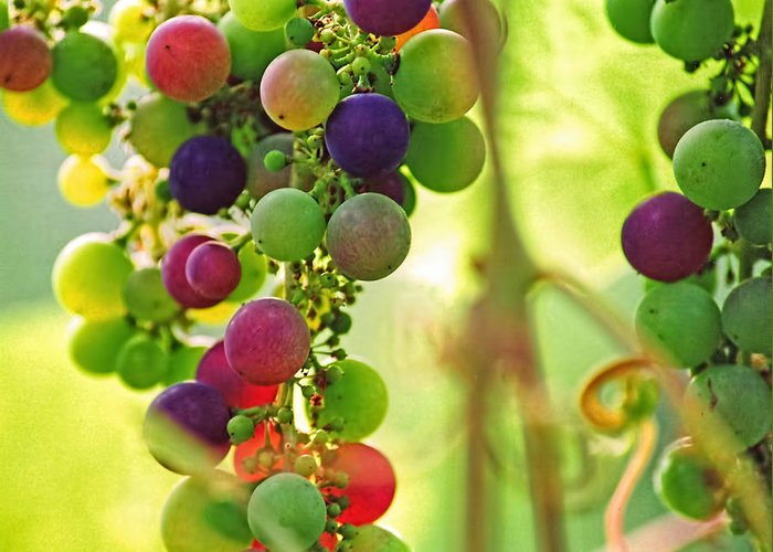 Grapes Greeting Card featuring the photograph Colorful Grapes by Peggy Collins
