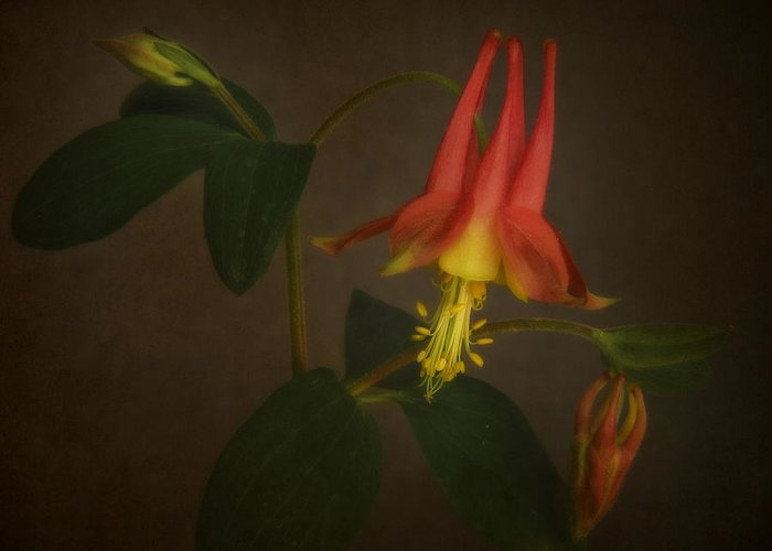 Bloom Greeting Card featuring the photograph Columbine by David and Carol Kelly