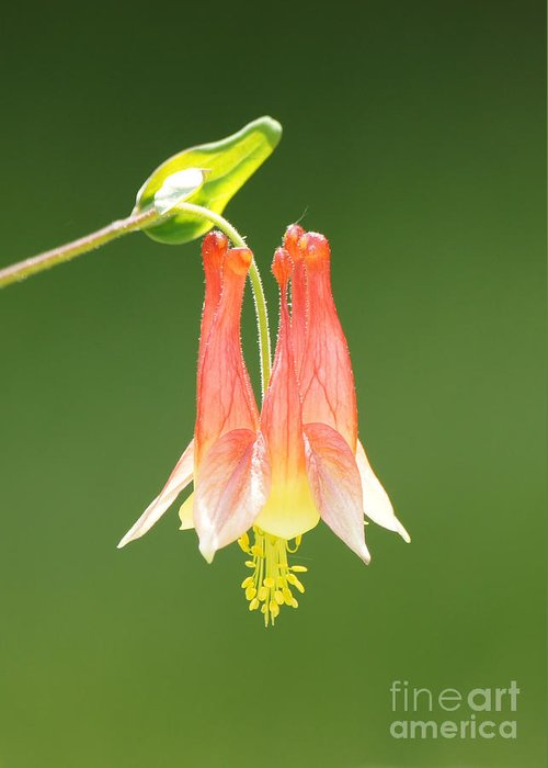 Columbine Flower In Sunlight Greeting Card featuring the photograph Columbine Flower In Sunlight by Robert E Alter Reflections of Infinity