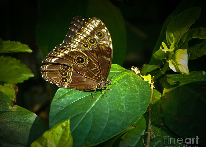 Moth Greeting Card featuring the photograph Common Blue Morpho Moth by Grace Grogan