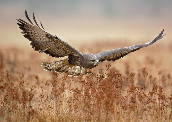 Common Buzzard Greeting Card featuring the photograph Common Buzzard by Milan Zygmunt