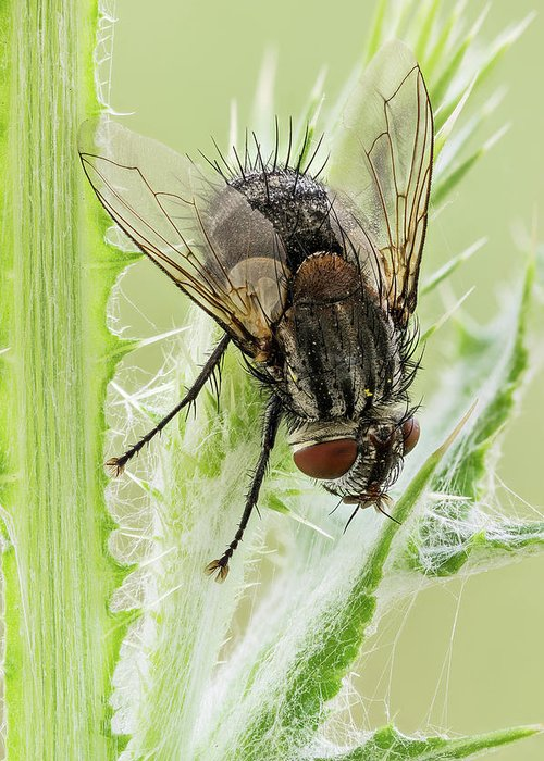 Image Digitally Manipullated Greeting Card featuring the photograph Common House Fly 0.9x by Javier Torrent
