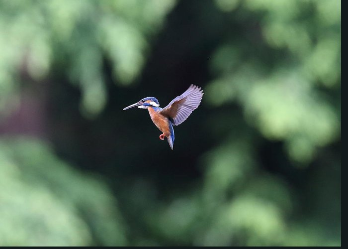 Common Kingfisher Greeting Card featuring the photograph Common Kingfisher In Flight by Akihiro Asami