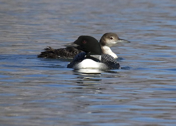 Greeting Card featuring the photograph Common Loon 111 by Eric Mace