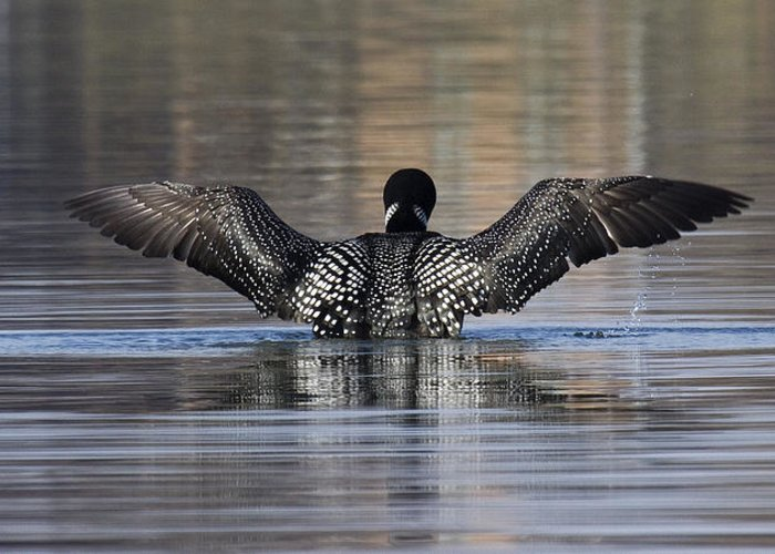 Greeting Card featuring the photograph Common Loon 142 by Eric Mace