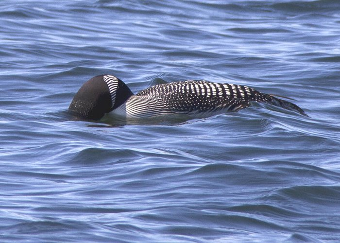 Nature Greeting Card featuring the photograph Common Loon Fishing by Mike Eckersley