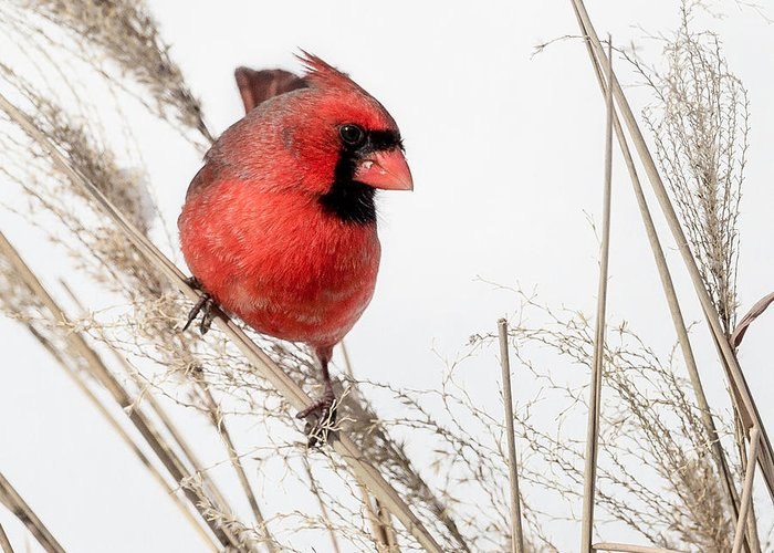 Cardinal Greeting Card featuring the photograph Common Northern Cardinal Square by Bill Wakeley