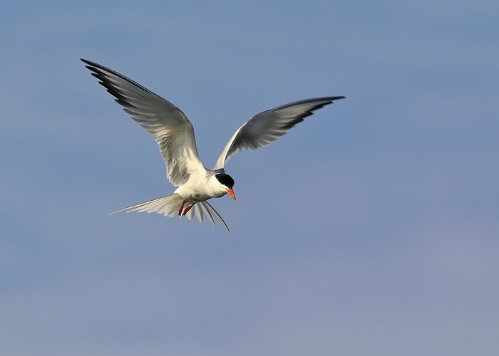 Common Tern Greeting Card featuring the photograph Common Tern Hovering by Tony Beck