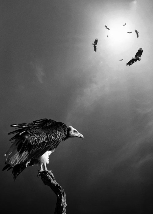 Vulture Greeting Card featuring the photograph Conceptual - Vultures Awaiting by Johan Swanepoel