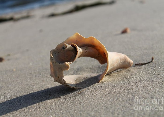 A See Through Conch Shell Located On A West Dennis Beach Greeting Card featuring the photograph Conch On The Beach by John Doble
