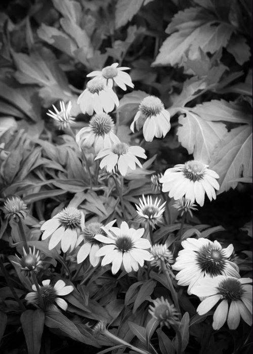Echinacea Greeting Card featuring the photograph Coneflowers Echinacea Rudbeckia Bw by Rich Franco