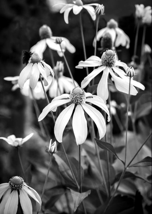 Echinacea Greeting Card featuring the photograph Coneflowers Echinacea Yellow Bw by Rich Franco