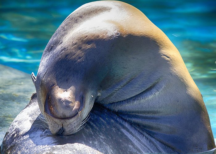 Sea Lion Greeting Card featuring the photograph Contortionist by Douglas Barnard