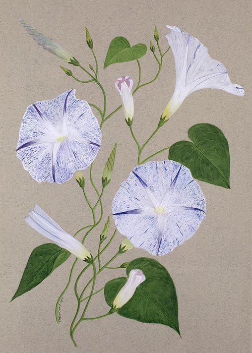 Botanical; Flower; Still Life; Liseron Greeting Card featuring the painting Convolvulus Cneorum by Frances Buckland